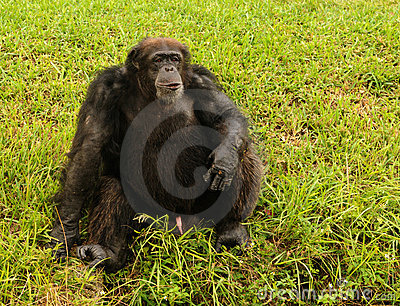 Chimpanzee sitting stock photo. Image of safari, hairy ...  |Chimp Sitting