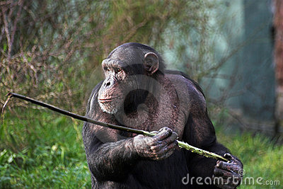 Chimp using a stick