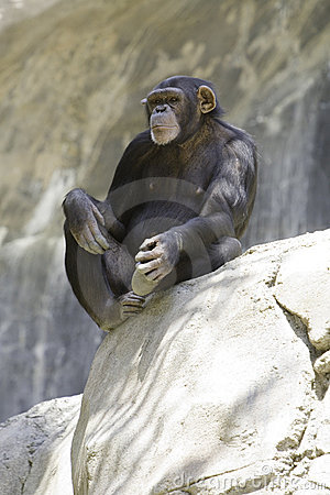 Chimpanzee 10