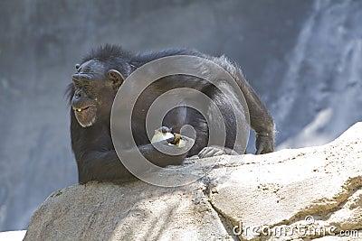 Chimpanzee 22