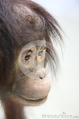 Free Chimpanzee Royalty Free Stock Photo - 3348425