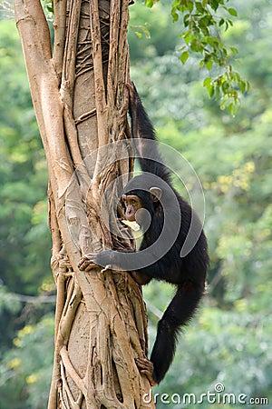 Free Chimpanzee Stock Photography - 3493842