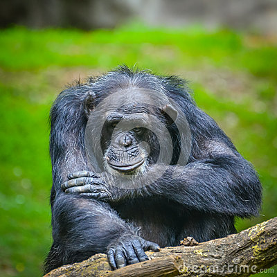 Free Chimpanzee Stock Photo - 47866360