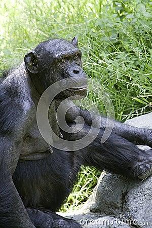 Chimpanzee 5