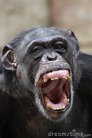 Free Chimpanzee Royalty Free Stock Photography - 6677697