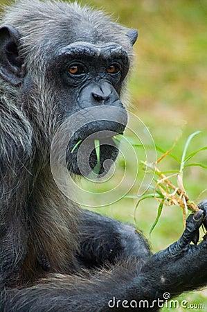 Chimpanzee Candid Shot