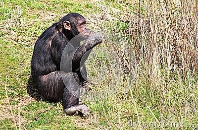 Chimpanzee eating fresh  stems