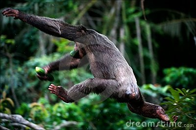 The chimpanzee escapes.