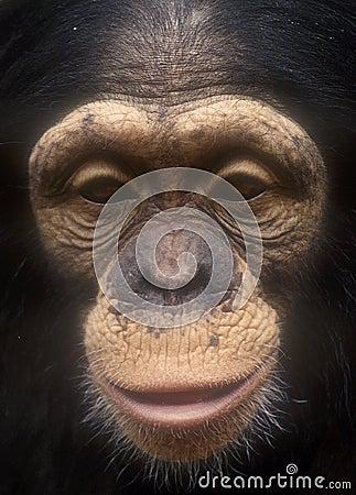 Chimpanzee face close up-grain