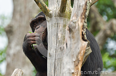 Chimpanzee hiding