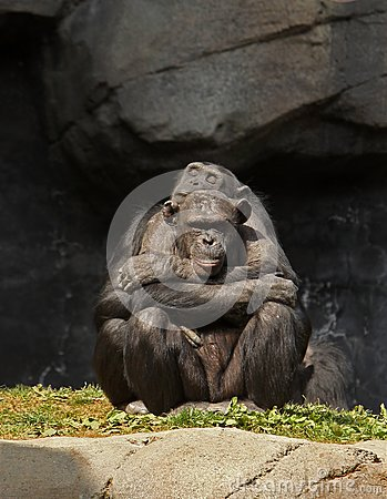 Chimpanzee Love