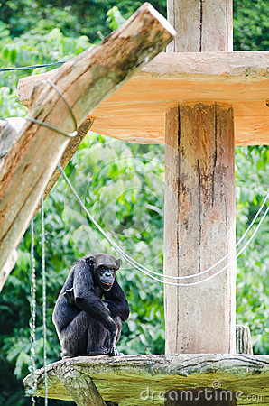 Chimpanzee on platform