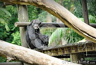 Chimpanzee pose outdoors