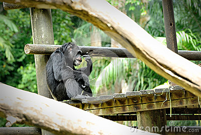 Chimpanzee pose outdoors