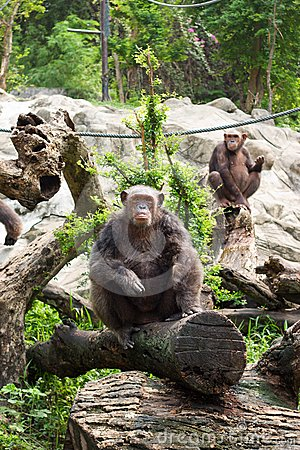 The chimpanzee on a rock at the zoo