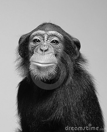 Free Chimpanzee Studio Portrait Stock Photos - 15155703