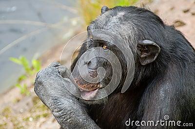 Chimpanzee sucking his thumb