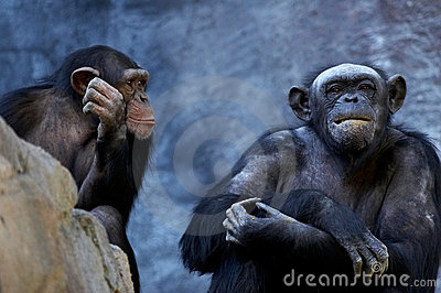 Chimpanzee talking