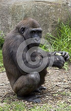 Chimpanzee at Taronga Zoo