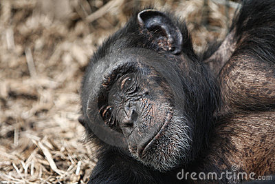 A Chimpanzee with a telling look