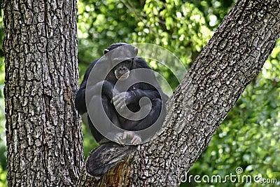 Chimpanzee in the tree