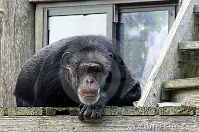 Chimpanzee at the Zoo