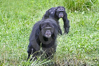 Chimpanzees playing follow the leader
