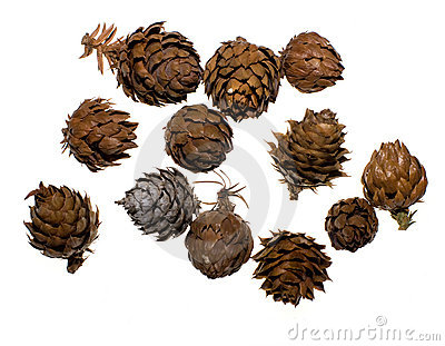 China Fir Tree Cones