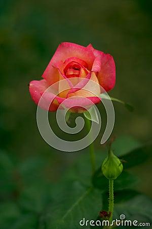 Free China Rose Royalty Free Stock Photos - 13342788