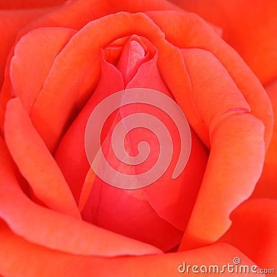 Free China Rose Royalty Free Stock Photo - 32639505