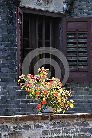 China rose flower in front of an old window