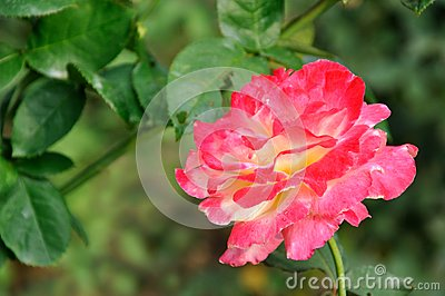 China rose with pink color