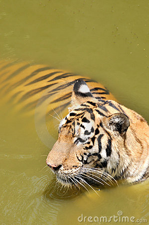 A China Southern tiger dip in pool water