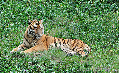 China Southern tiger resting on grass