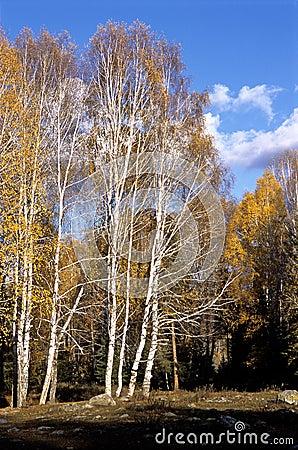 China/Xinjiang: Birches and blue sky