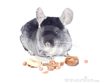 Chinchilla with food