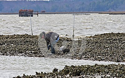 Oyster Harvest Editorial Image