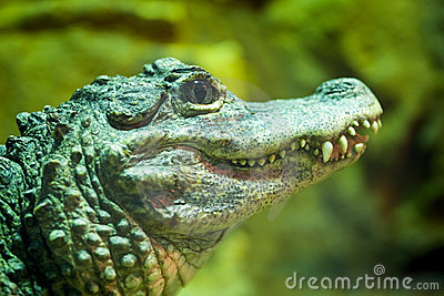 Chinese Alligator