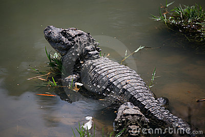Chinese Alligator , Endangered Species