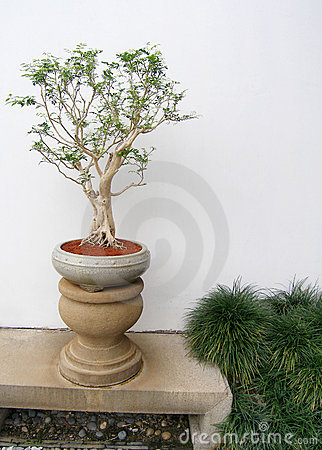 Chinese bonsai tree potted
