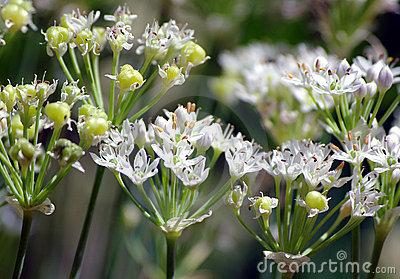 Chinese chive flowers and seeds
