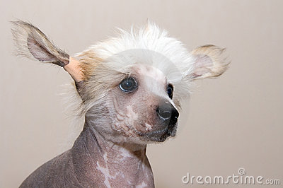 Chinese Crested  breed puppy