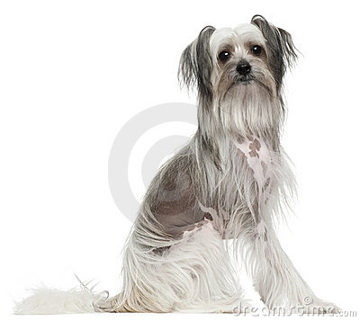 Chinese Crested Dog, 11 months old, sitting