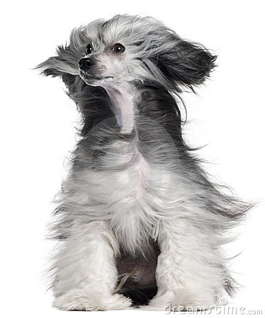 Chinese Crested Dog, 15 months old