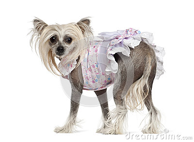 Chinese Crested Dog, 2 years old, standing