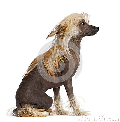 Chinese Crested Dog, 9 months old, sitting
