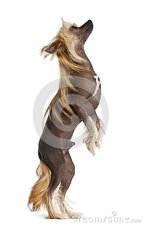 Chinese Crested Dog, 9 months old, standing