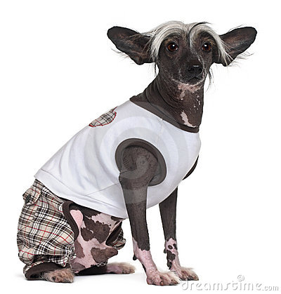 Chinese Crested Dog, 9 years old, dressed up