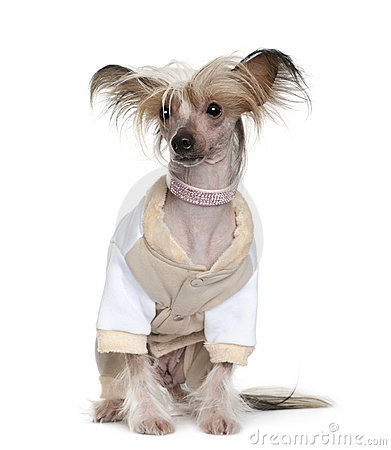 Free Chinese Crested Dog Dressed Up, 1 Year Old Royalty Free Stock Image - 15358036