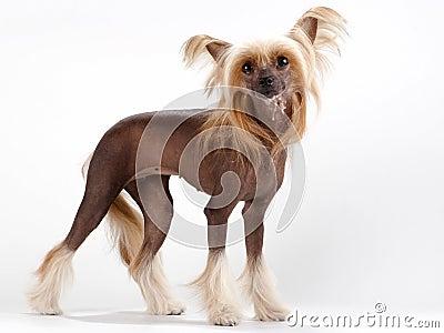 Chinese Crested Dog female